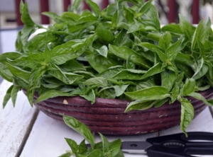 Fresh Picked Basil From Pure Grace Farms