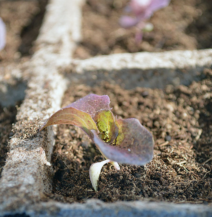 How to Pot Up your Seedlings
