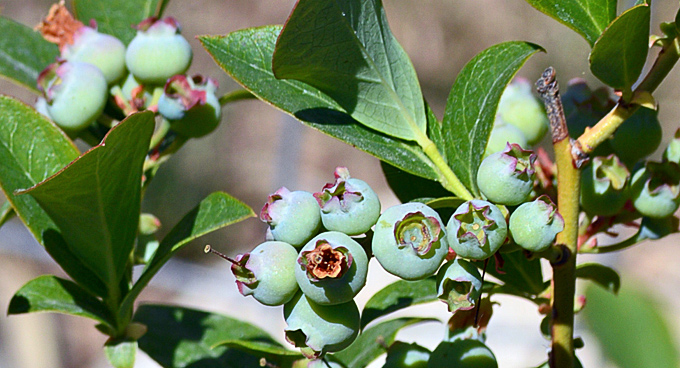 Preserve the Harvest Series: Let's Talk Blueberries & Blueberry Marmalade